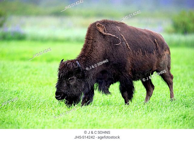 Wood Bison, (Bison bison athabascae), adult feeding, Alaska Wildlife Conversation Center, Anchorage, Alaska, USA, Northamerica