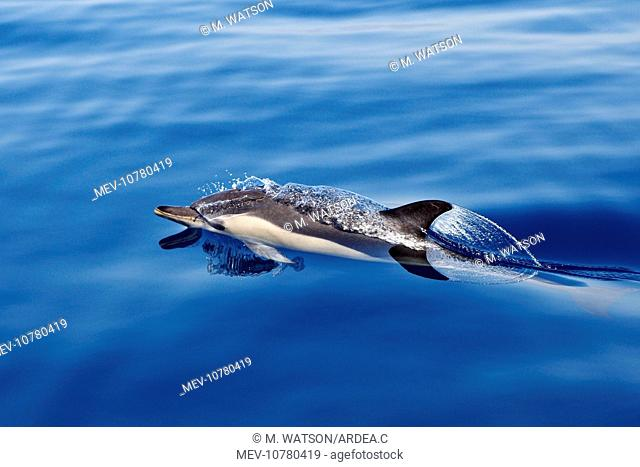 Common Dolphin - swimming in the strait of Gibraltar (Delphinus delphis)