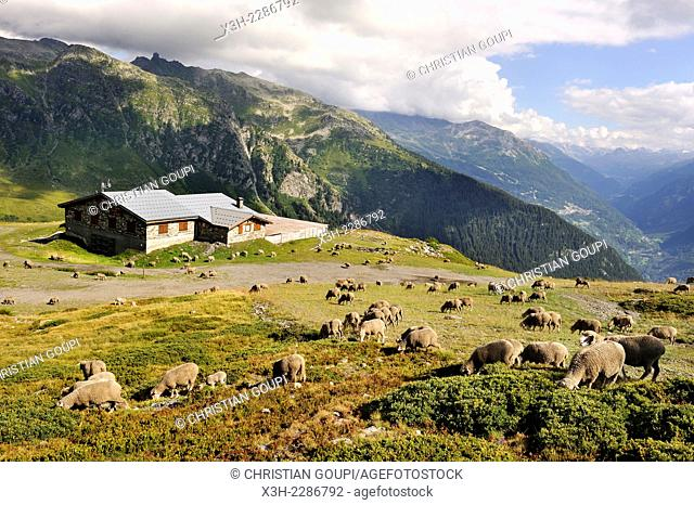 flock of sheep in the high mountain pasture above La Rosiere, ski resort in the territory of the commune of Montvalezan, Tarentaise Valley, Savoie department