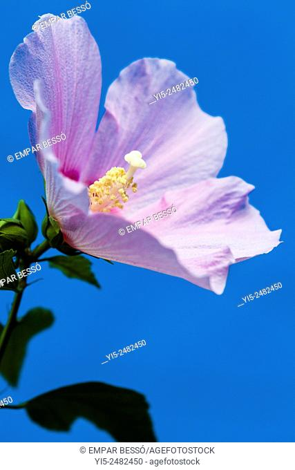 Rose mallow (Hibiscus syriacus), Valencia, Spain