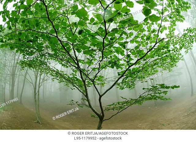 Beech trees Fagus sylvatica in the mist, Montseny nature reserve, Spain  This is the Southernmost Beech forest in Europe