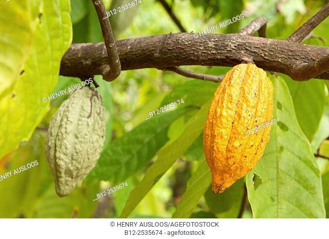 Cocoa tree (Theobroma cacao) pods, Thailand