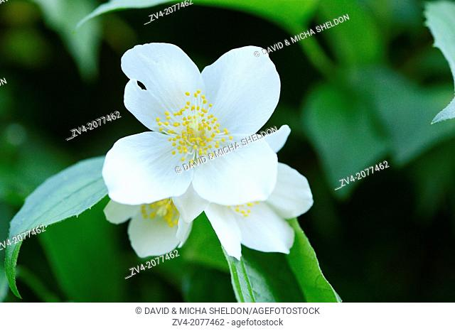 Close-up of sweet mock-orange (Philadelphus coronarius) blossoms in a garden in spring, Bavaria, Germany