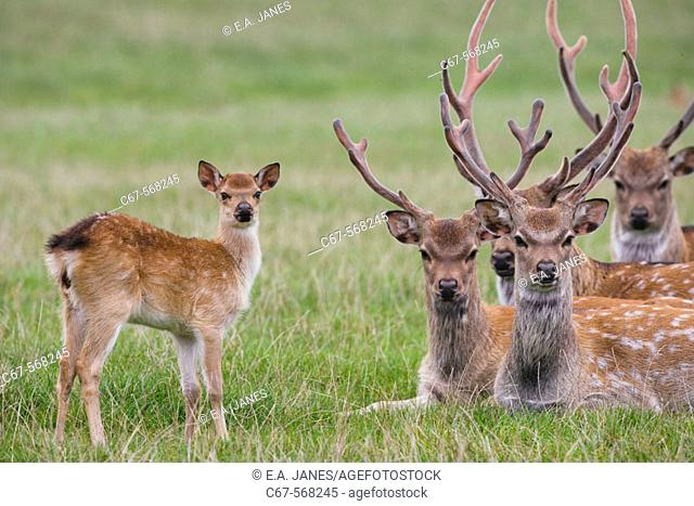 Sika Deer (Cervus nippon). Introduced from the Far East to the UK around 1875 to Dorset