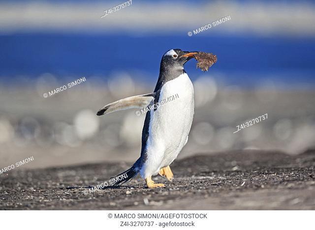 Gentoo penguin (Pygocelis papua papua), carrying nesting material, Sea Lion Island, Falkland Islands, South Atlantic, South America