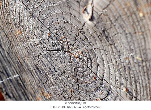 Cross Section Of Tree Trunk. France