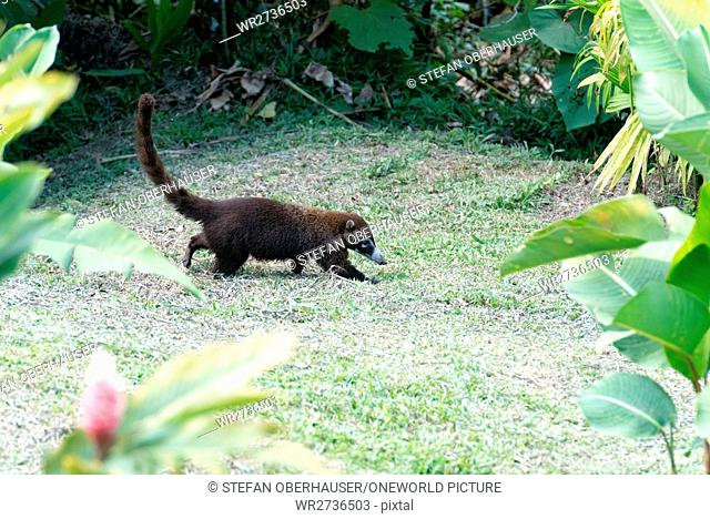 Costa Rica, Alajuela, San Carlos, Nasua (Nasua) or proboscis are a species of small bear (Procyonidae) common in Central and South America