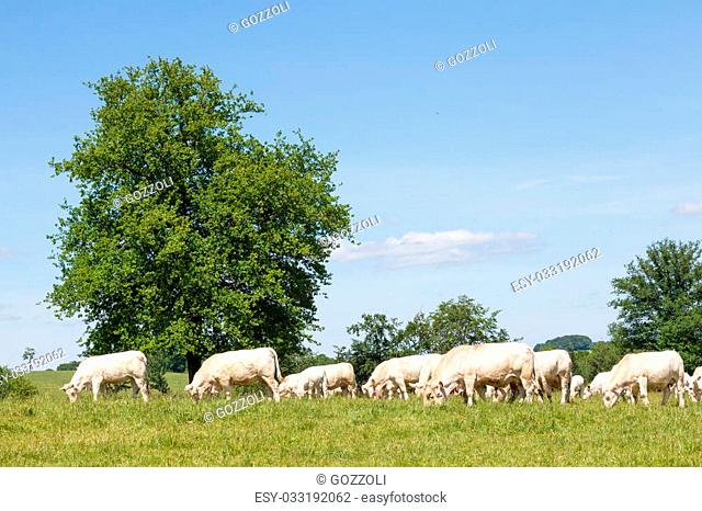 Herd of white Charolais beef cattle grazing in a lush green spring pasture with cows and calves , profile view under a sunny blue sky