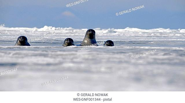 Russia, Lake Baikal, Baikal seals looking out from ice hole