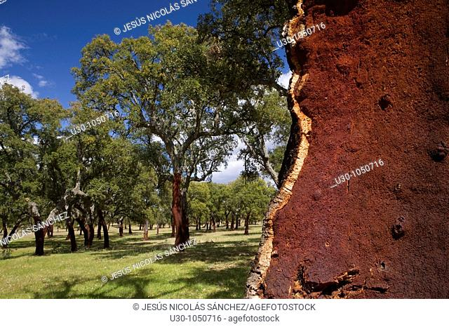 Forest of cork trees in Monfrague National Park  Biosphere Reserve, Cáceres province  Extremadura  spain