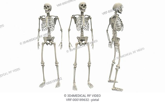 Animation depicting three skeletons, with the middle of the three is rotating fully in an anti-clockwise motion. The left skeleton is of an anterior view and...