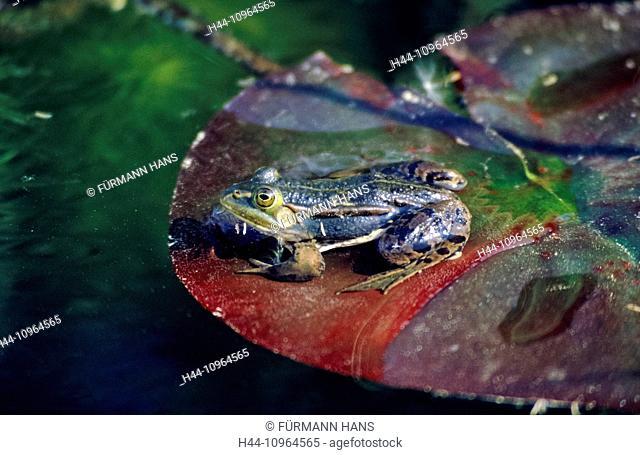 Bavaria, Upper Bavaria, animals, animal, fauna, water, water animal, frog, water frog, frogs, water lilies