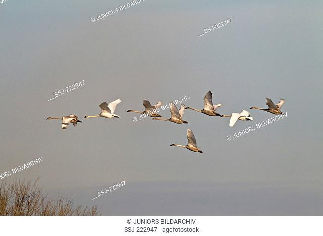 Mute Swan (Cygnus olor) adult and juveniles of the first year flying, Haaler Au, Schleswig-Holstein