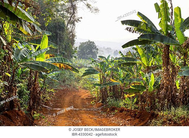 Road through bananas, tropical rainforest at Senmonorom, Sen Monorom, Mondulkiri Province, Cambodia