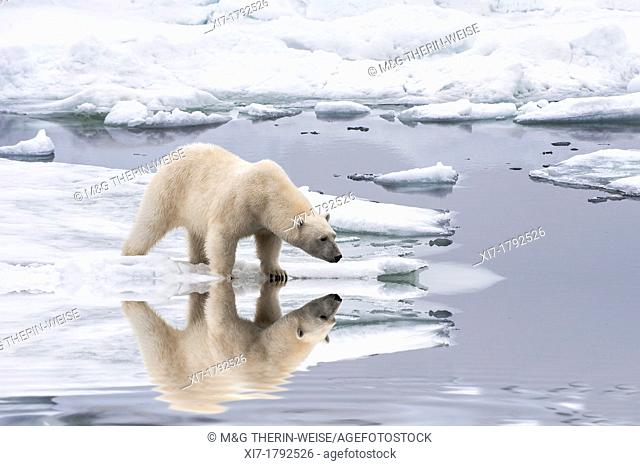 Female Polar bear Ursus maritimus reflecting in the water, Svalbard Archipelago, Barents Sea, Norway