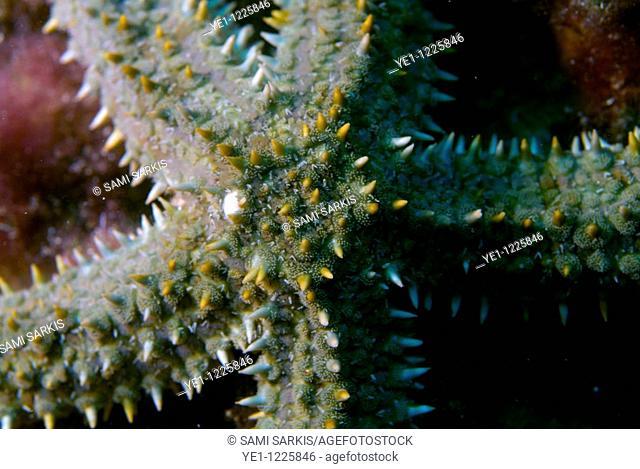 Spiny Starfish (Marthasterias glacialis), Marseille, France