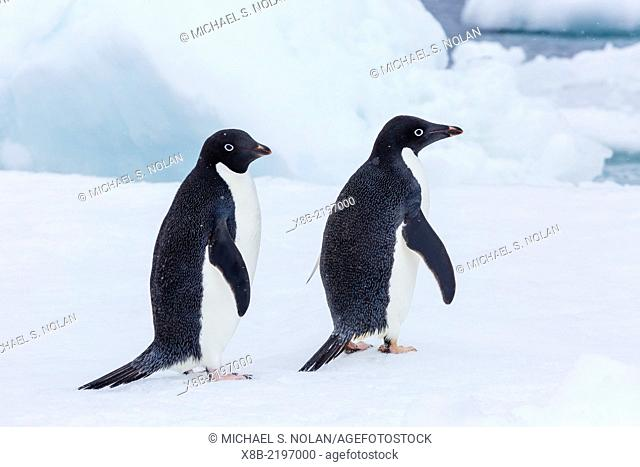 Adult Adélie penguins, Pygoscelis adeliae, on ice floe at Brown Bluff, Weddell Sea, Antarctica