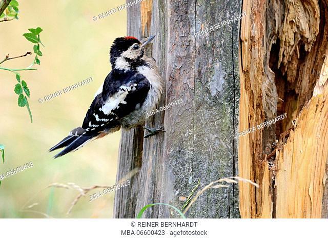 great woodpecker, Dendrocopos major