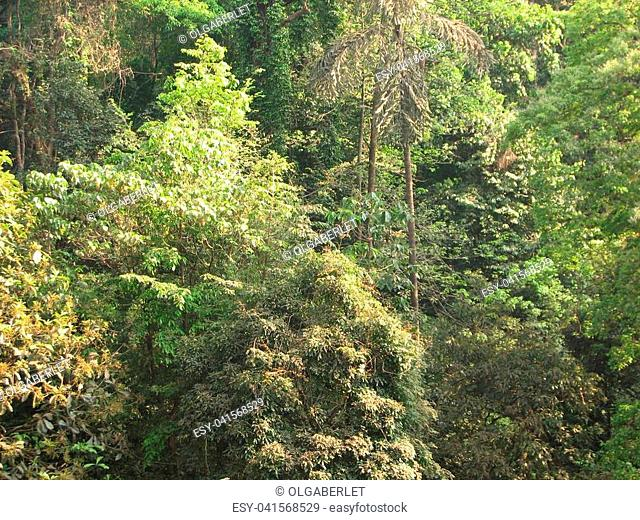 Deciduous and coniferous subtropical forest. Common Trees and other plants. India, Karnataka, January 2017