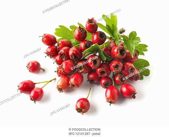 Freshly harvested hawthorn berries