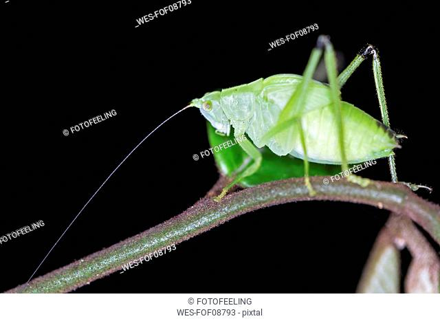 Peru, Manu National Park, Oblong-Winged katydid on twig