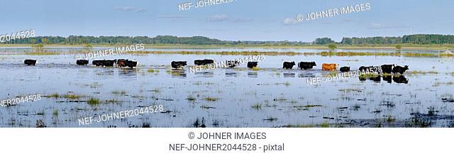 Cows walking through standing water