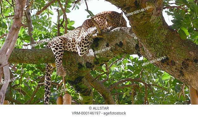 LEOPARD LAYING IN SAUSAGE TREE; MAASAI MARA, KENYA, AFRICA; 31/01/2016