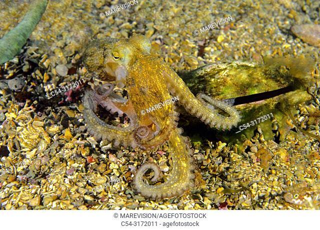 Octopus taking refuge inside a dead clam (Octopus vulgaris). Eastern Atlantic. Galicia. Spain. Europe