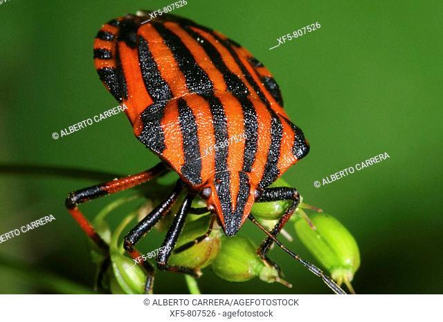 Striped shield bug on plant