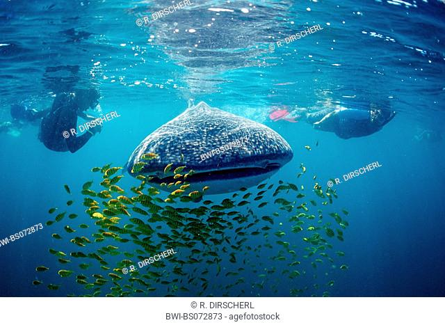 whale shark (Rhincodon typus), frontal with school of fishes and scuba divers, Mexico, Baja California, Sea of Cortez