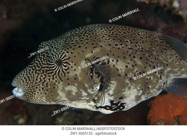 Map Puffer (Arothron mappa), Magic Crack dive site, Lembeh Straits, Sulawesi, Indonesia
