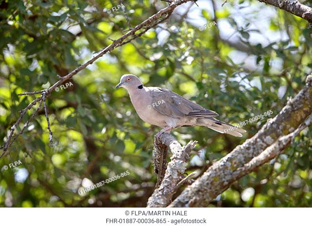 African Mourning Dove (Streptopelia decipiens) adult, perched on branch, Lake Langano, Oromia Region, Ethiopia, November