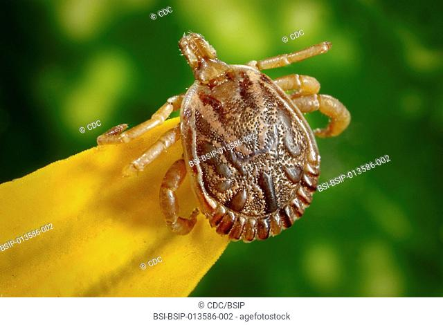 This photograph depicts a dorsal view of a male cayenne tick, Amblyomma cajennense. This tick specie is a known North, Central and South American vector of...