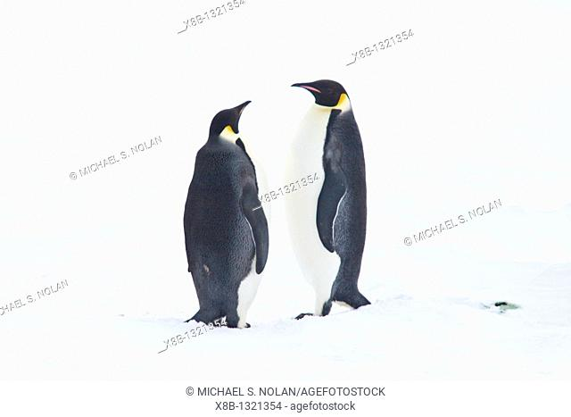 Adult Emperor Penguin pair Aptenodytes forsteri resting on ice floe below the Antarctic circle on the western side of the Antarctic Peninsula  These are...