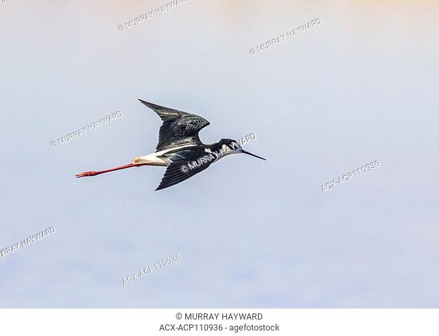 Black-necked Stilt (Himantopus mexicanus) Beautiful, black and white bird, flying over prairie slough, its natural habitat. Weed Lake, Alberta, Canada