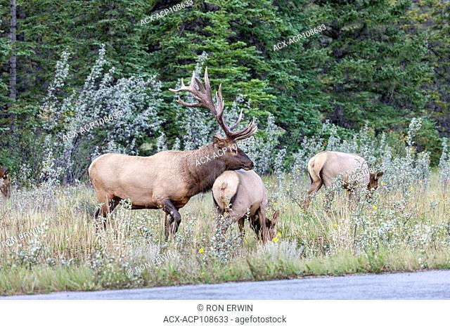 Bull Elk or Wapiti (Cervus canadensis) guarding his harem in Jasper National Park, Alberta, Canada