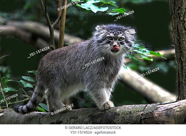 Manul or Pallas's Cat, otocolobus manul, Adult standing on Branch, Licking its Nose