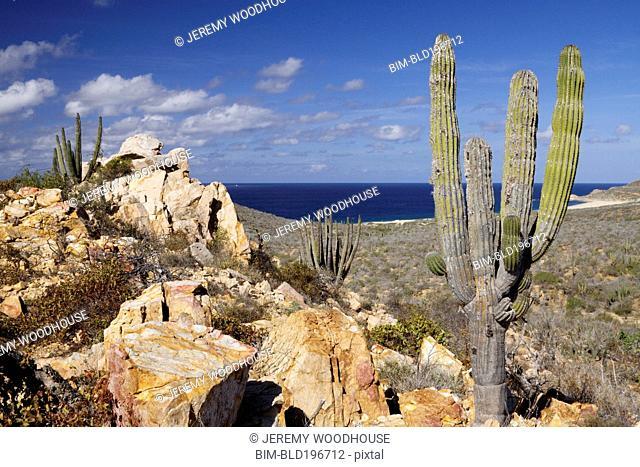 Cactus growing near ocean