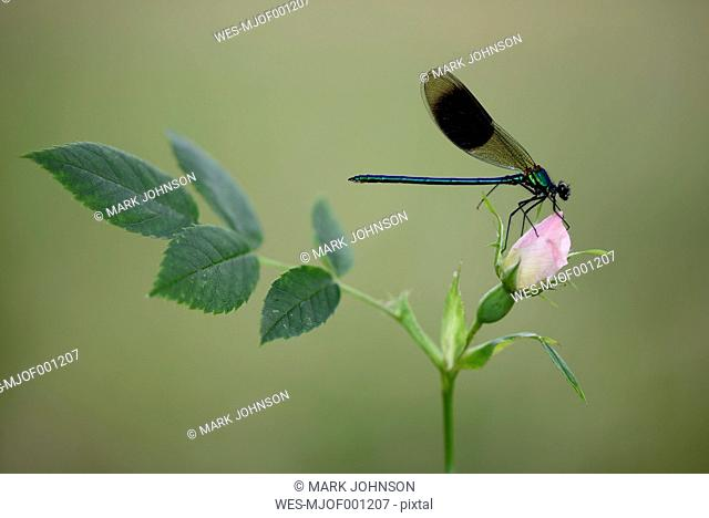 Male banded demoiselle on rose bud