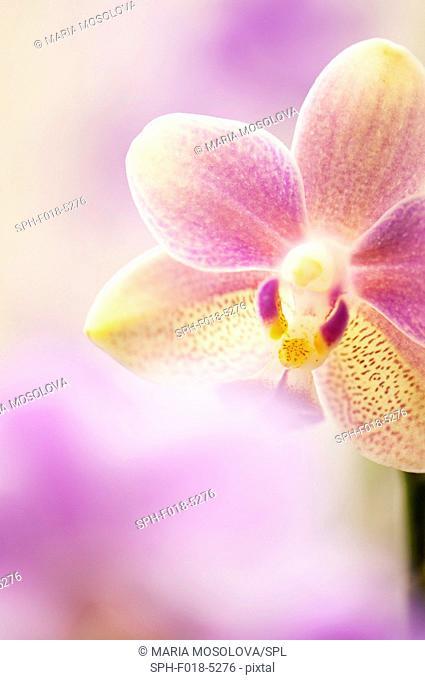 Phalaenopsis tzu chiang balm 'Ot0076' orchid