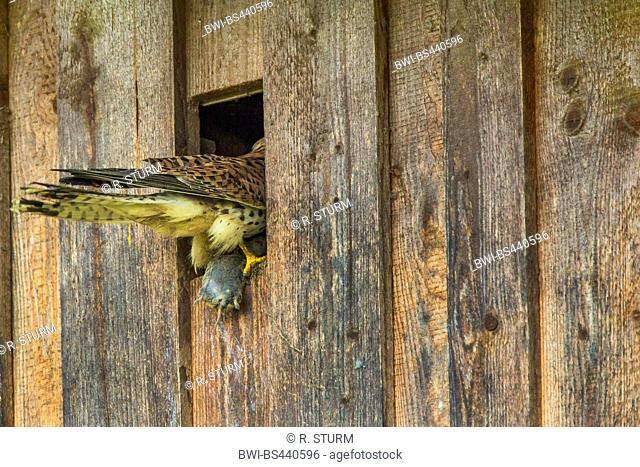European Kestrel, Eurasian Kestrel, Old World Kestrel, Common Kestrel (Falco tinnunculus), female taking a mouse into the nest box, Germany, Bavaria