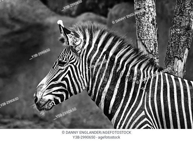 Profile view of a zebra in black and white