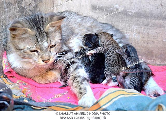 Cat with kittens, rajasthan, india, asia