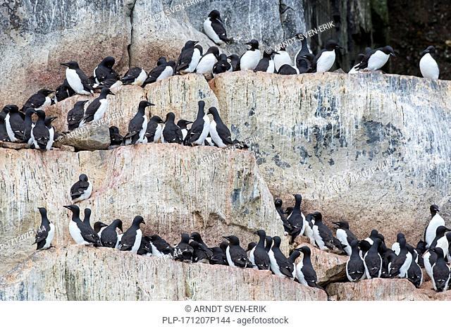 Alkefjellet, sea cliff housing seabird colony of thick-billed murres / Brünnich's guillemots (Uria lomvia) at Hinlopenstretet, Svalbard, Norway