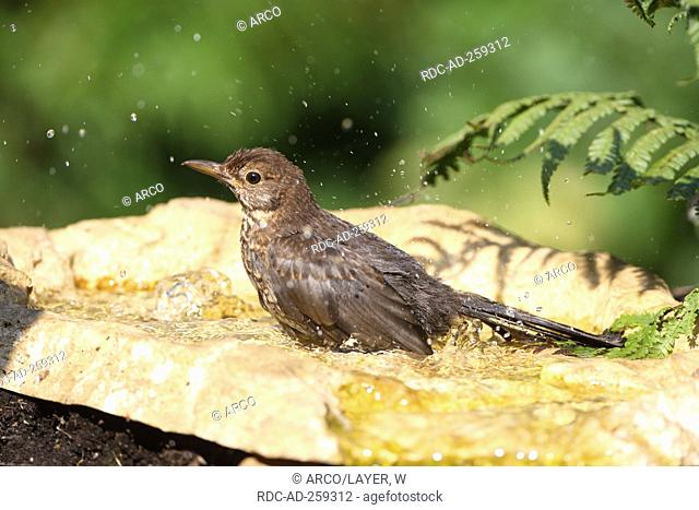 Blackbird female in bird bath Germany Turdus merula side