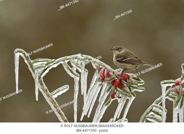 Pine Warbler (Dendroica pinus), immature female perched on icy branch of Christmas cholla (Cylindropuntia leptocaulis), Hill Country, Texas, USA