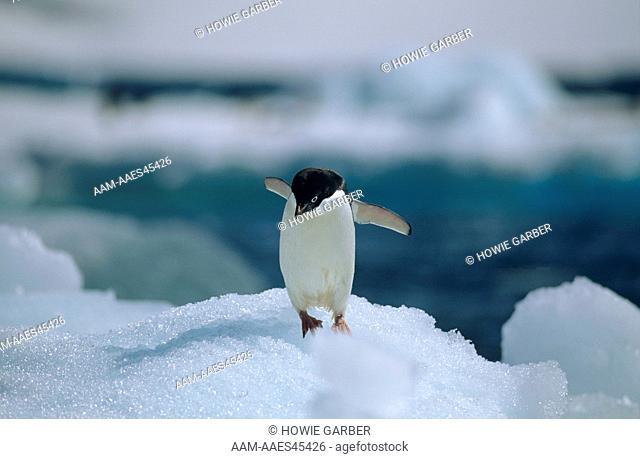 Adelie Penguin on Ice Flow (Pygoscelis adeliae) Antarctic Peninsula