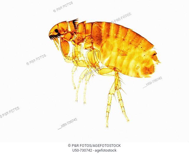 Dog flea, 50 X, Ctenocephalides canis, Siphonaptera: Pulicidae