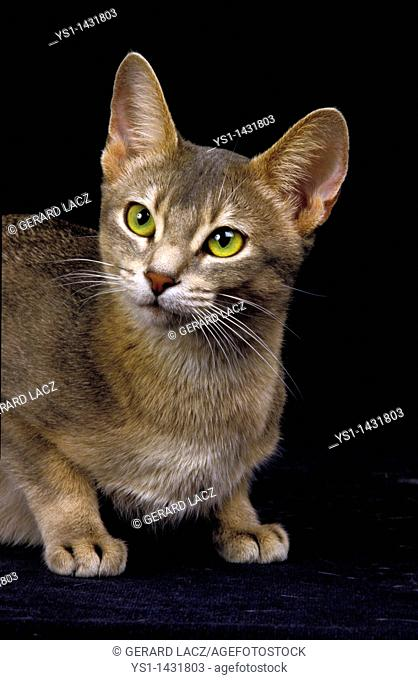 BLUE ABYSSINIAN DOMESTIC CAT, PORTRAIT OF ADULT AGAINST BLACK BACKGROUND