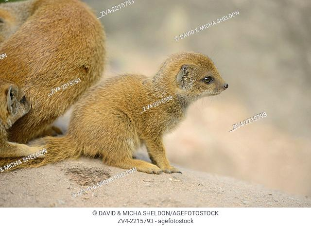 Close-up of a yellow mongoose (Cynictis penicillata) youngster in spring